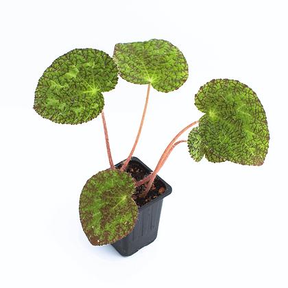 Begonia Sizemorae