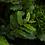 """Thumbnail: Marcgravia sp. El Condor """"Serrated Green"""""""