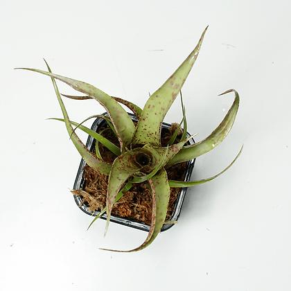 Vriesea Saundersii – XS