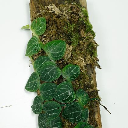 Raphidophora Cryptantha