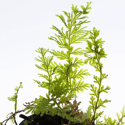 Hymenophyllum sp. (Filmy Fern)