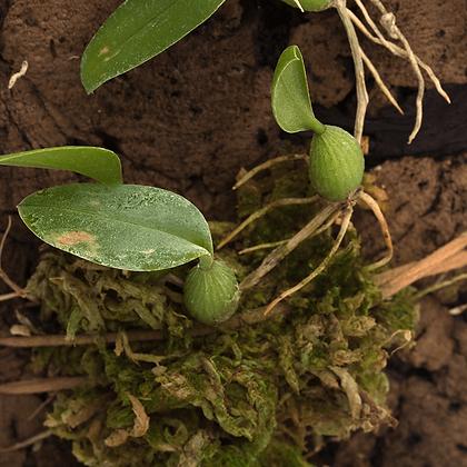Bulbophyllum Comberi