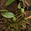 Thumbnail: Bulbophyllum Comberi