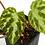 Thumbnail: Begonia Imperialis