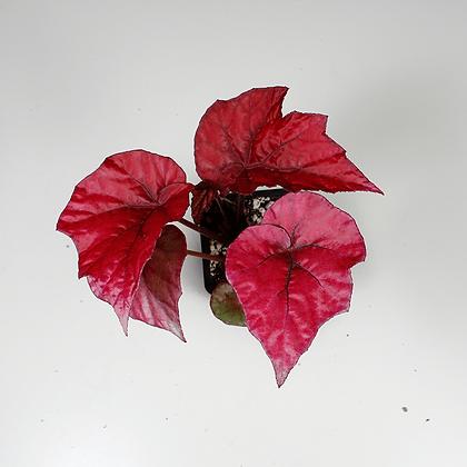 Begonia Inca Flame