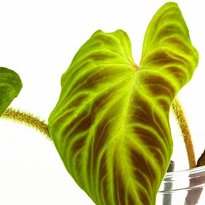 Philodendron Verrucosum aff ´Esmeraldas´