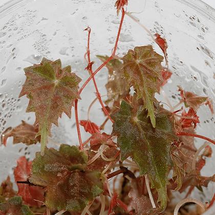 Begonia Segregata