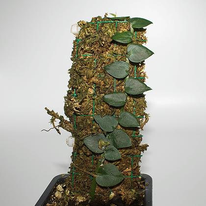 Raphidophora cf. Pachyphylla