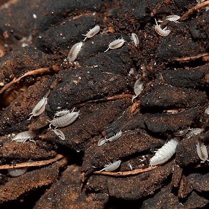 Isopods Tropicais – Trichorhina Tomentosa