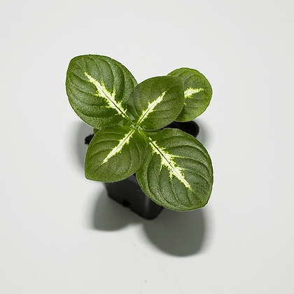 Chamaeranthemum Igneum
