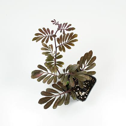 Solanum Uleanum