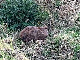 winnie the wombat.jpg