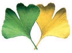 Ginko Blätter alt & verbunden