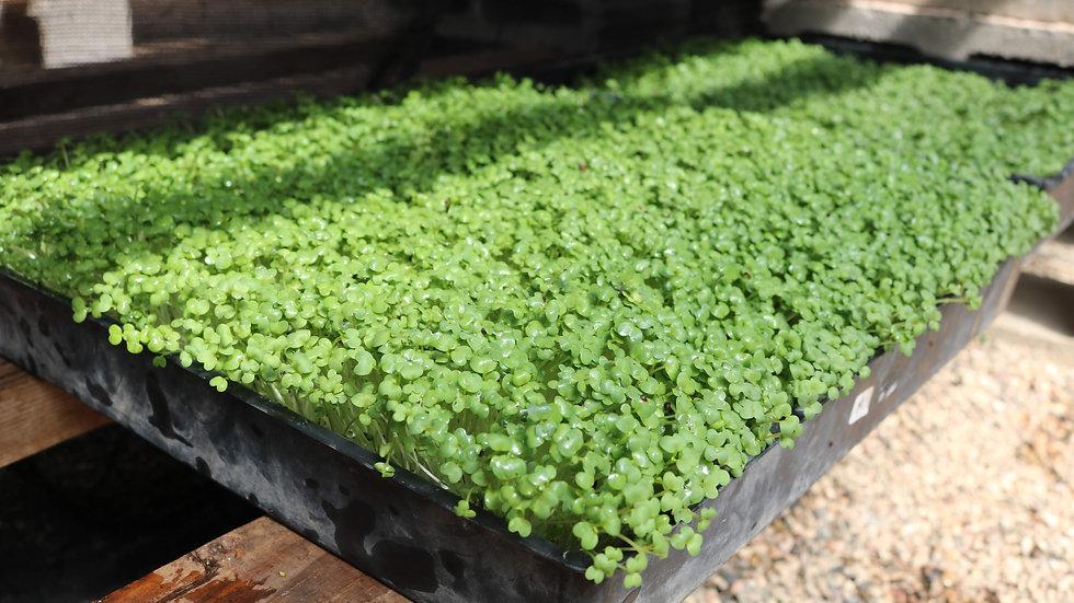 Grown to Order Microgreen Trays