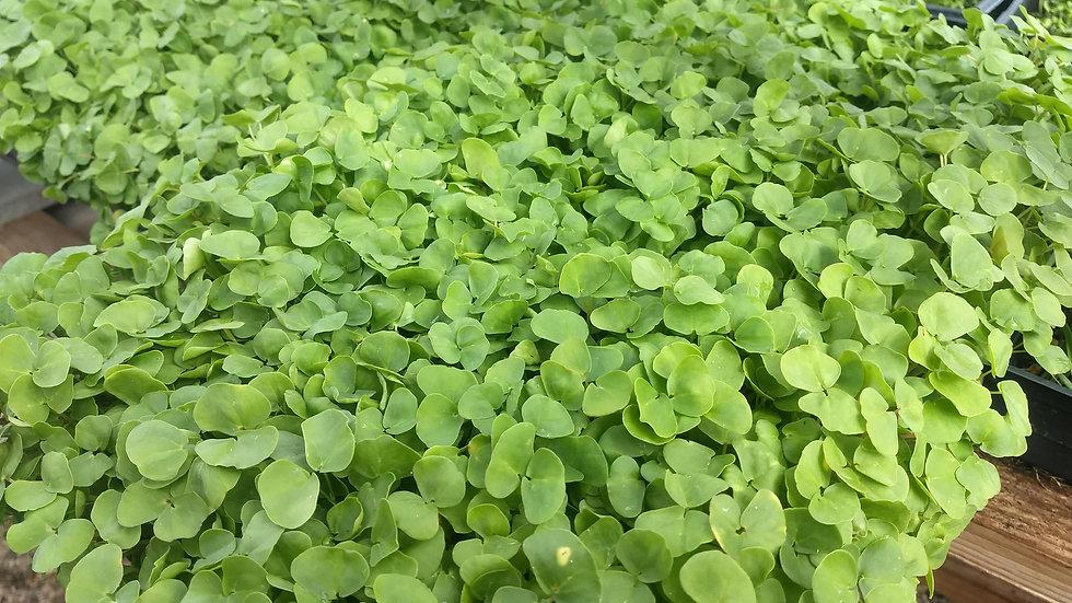 Buckwheat Greens