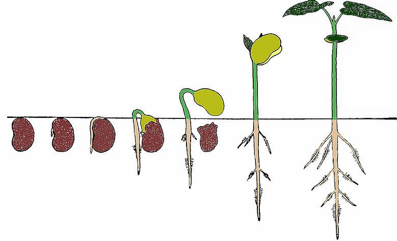 seed to plant progression.jpg