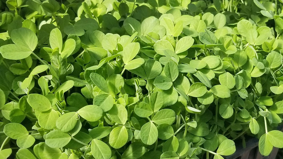 Pea Shoot Greens