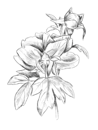 floral-drawing-1.png