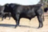 N Bar 5048, Angus Bull for Sale, N Bar Angus, Dublin, Texas