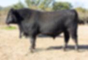 N Bar 5039, Angus Bull for Sale, N Bar Angus, Dublin, Texas