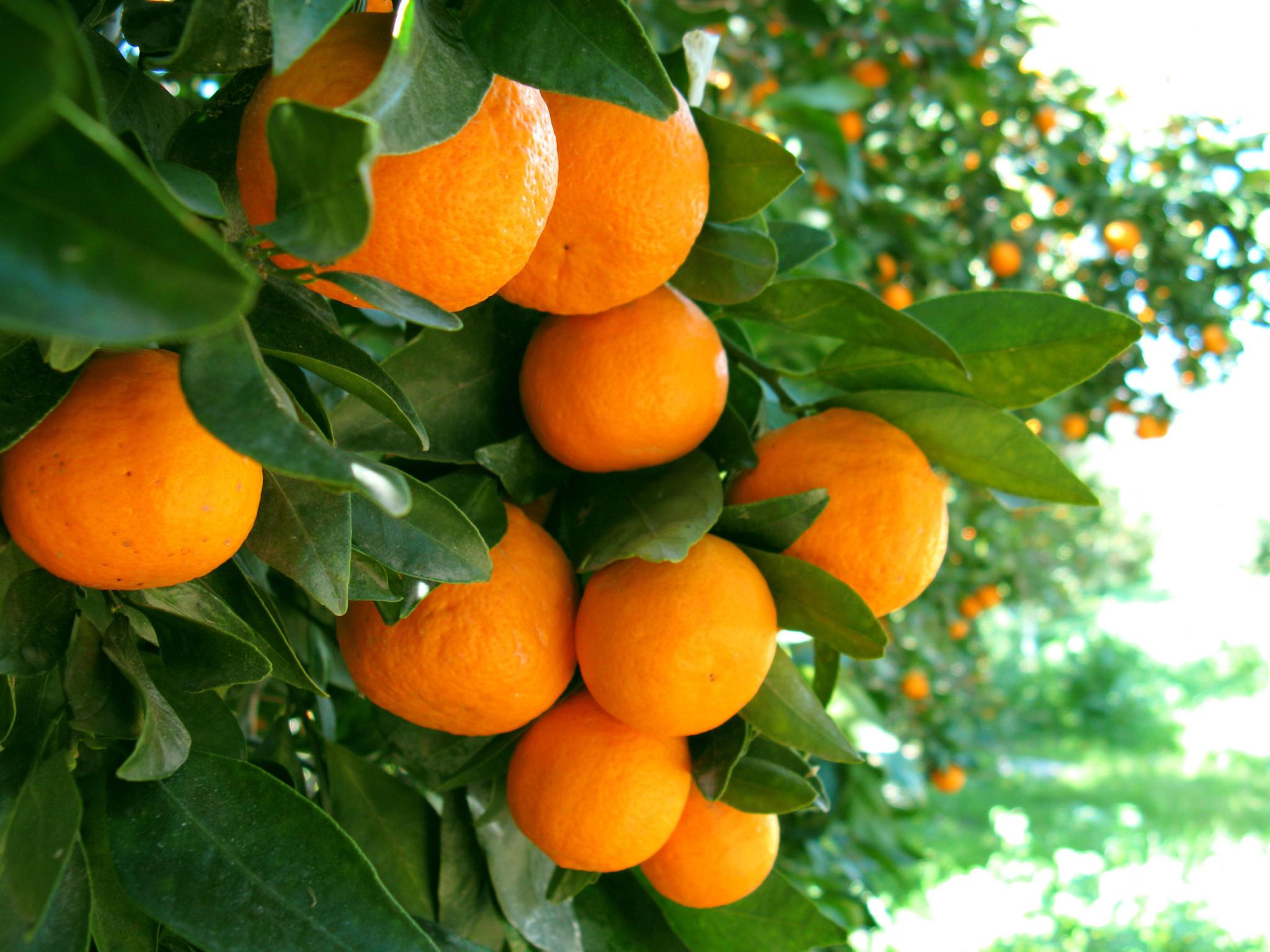 "Ripe ""Kinno"" Oranges"