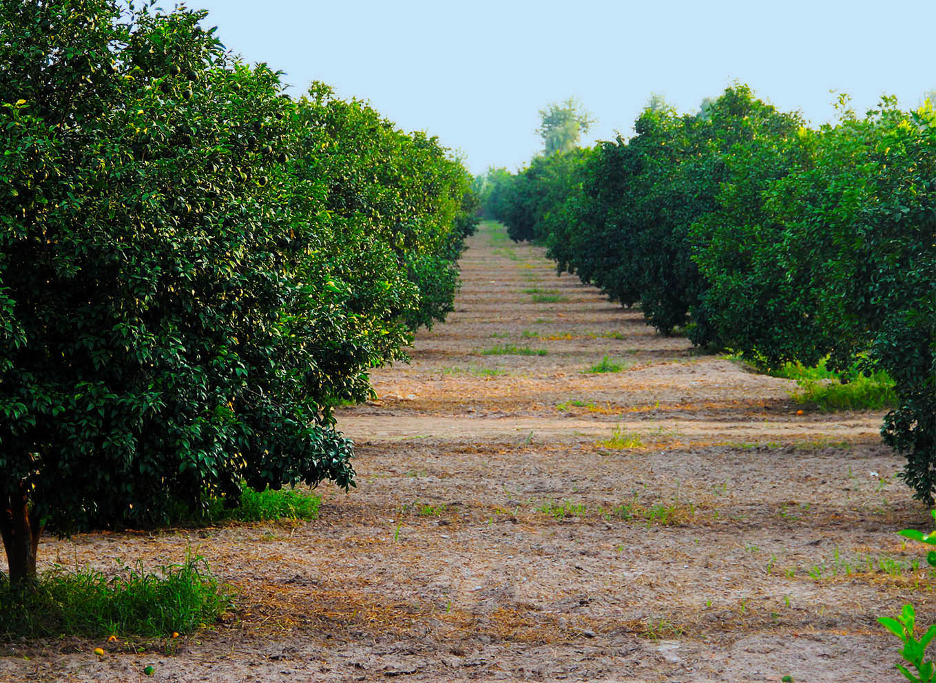 Wahdat Farms Orchard