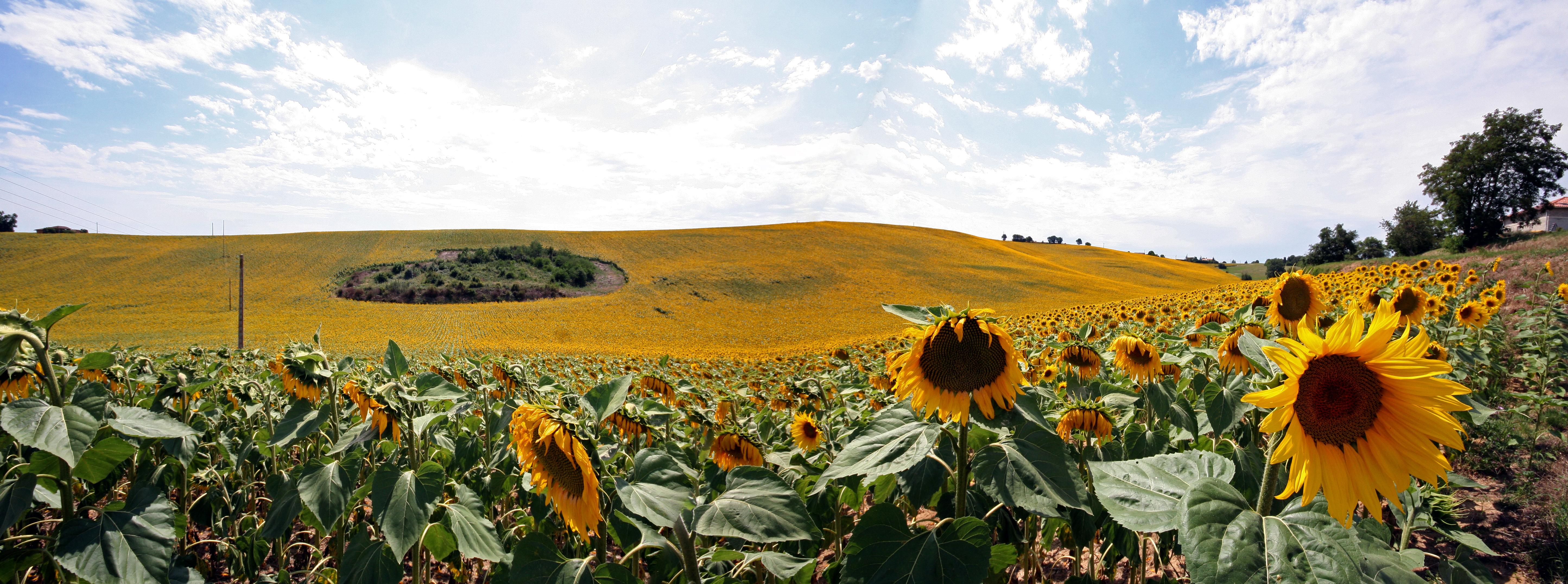 Sunflower field/Champ de tournesol