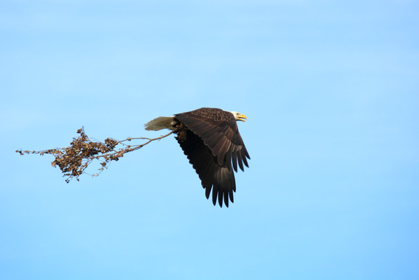 Bald Eagle, New Orleans