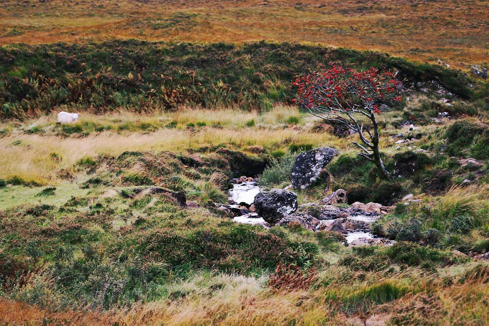 Scotland-UK-Isle-Skye-tree.jpg