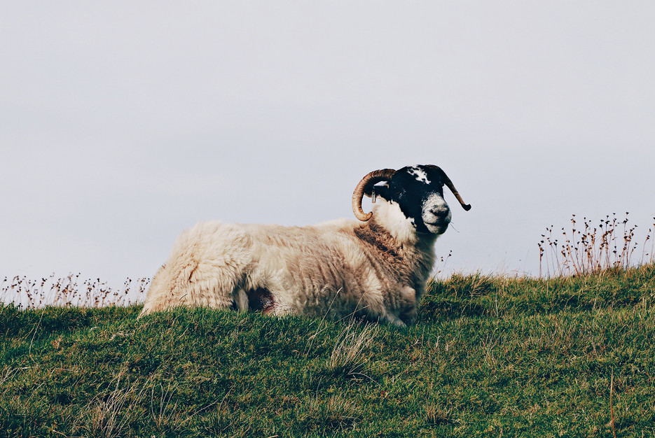 Scotland-UK-Skye-sheep.jpg