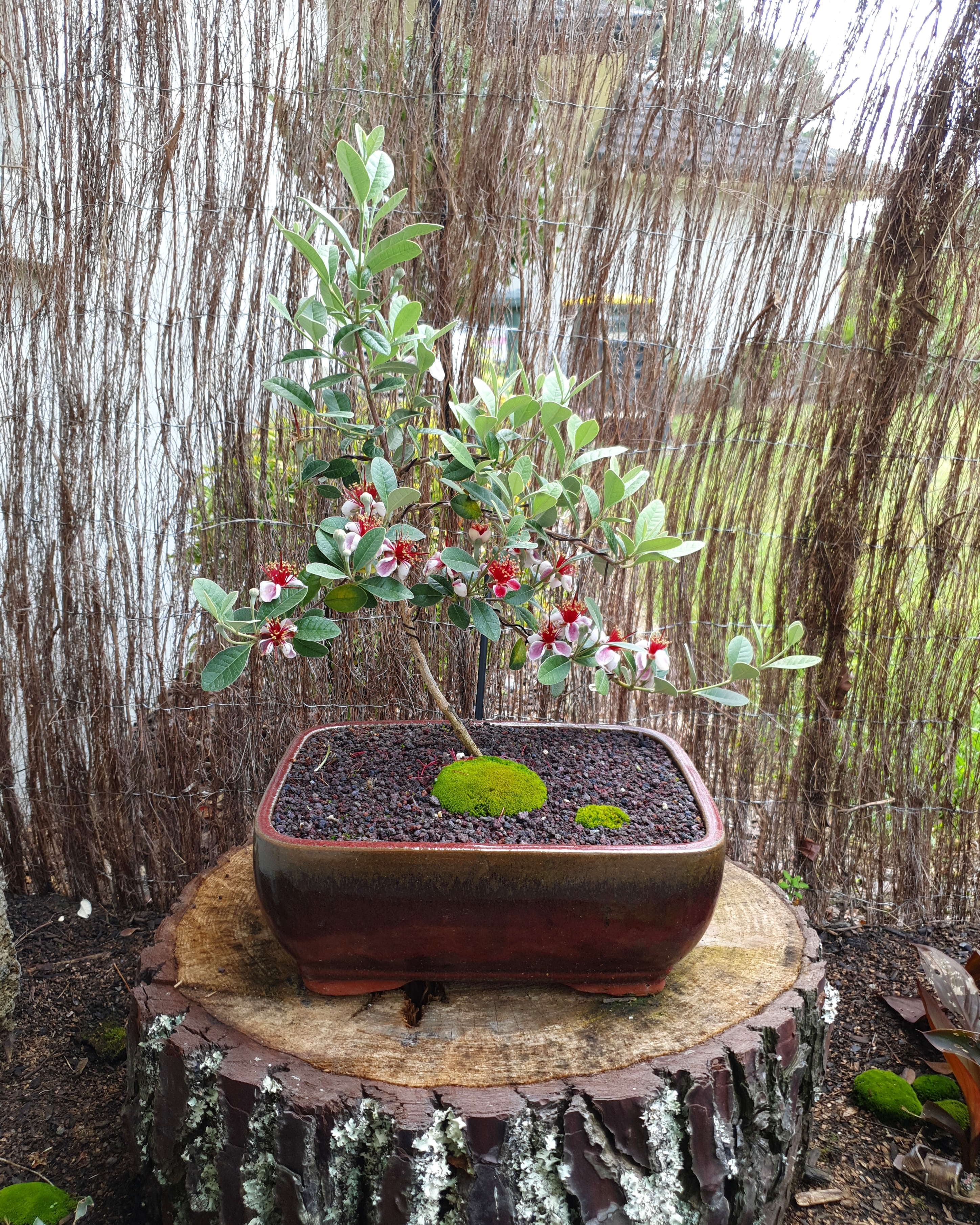 Feijoa bonsai tree for sale