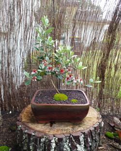 Feijoa bonsai tree for sale