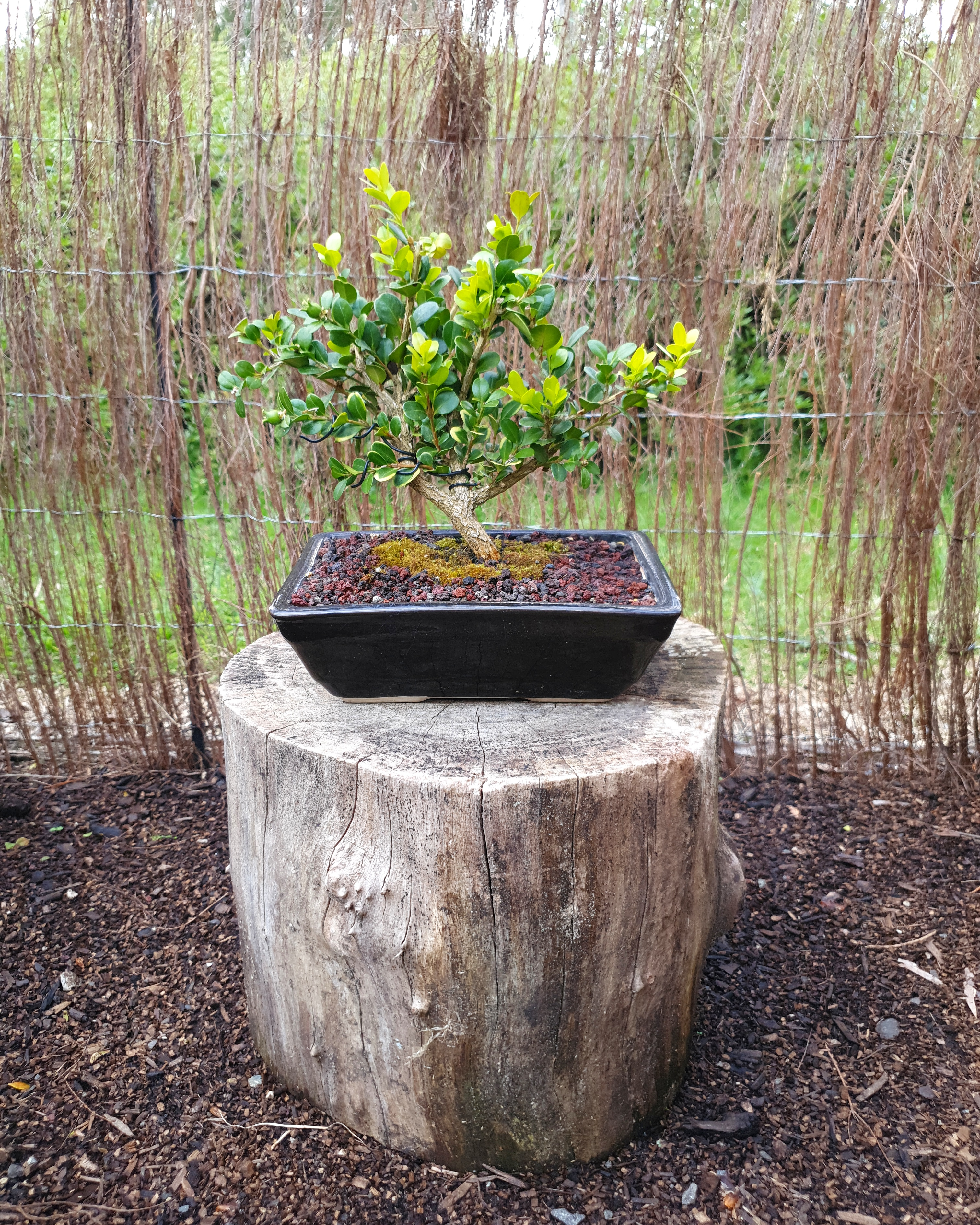 Buxus bonsai tree for sale