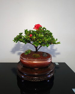 Azalea bonsai tree for sale