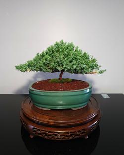 Juniper bonsai tree for