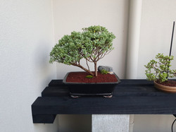 Hebe bonsai tree for sale