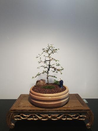 Kowhai bonsai tree