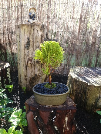 Thuja golden ball bonsai tree for sale