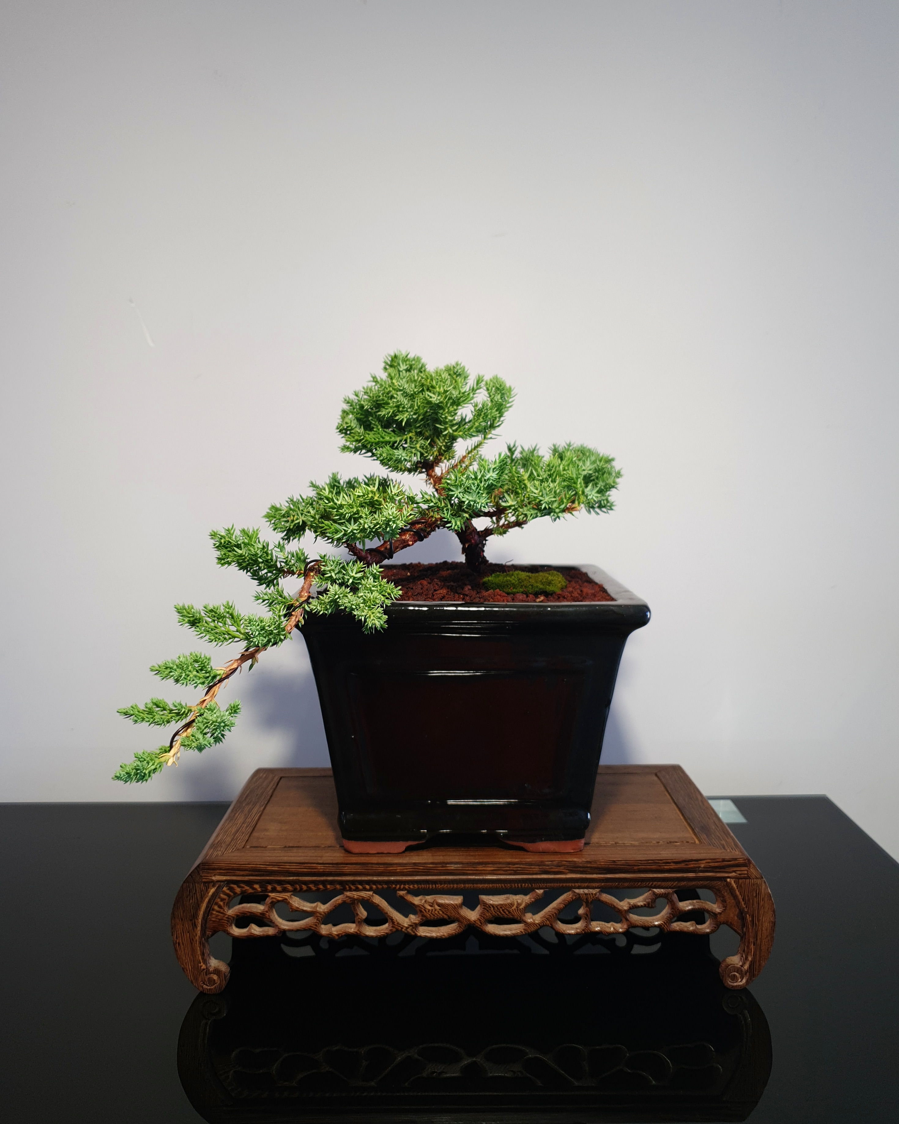 Juniper bonsai tree for sale