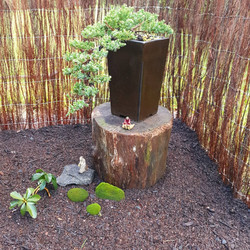 Juniper bonsai tree for sale