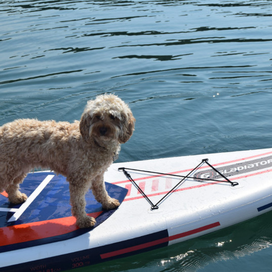 Falmouth River Watersports cockerpoo paddleboarding dog on the water