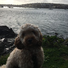 Falmouth River Watersports dog on the beach cockerpoo sea