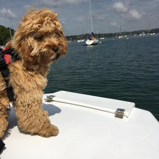 Cockerpoo boat water