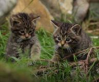 Scottish Wildcat Action.jpg