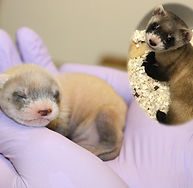 black footed ferret_Clone_Revive and Res