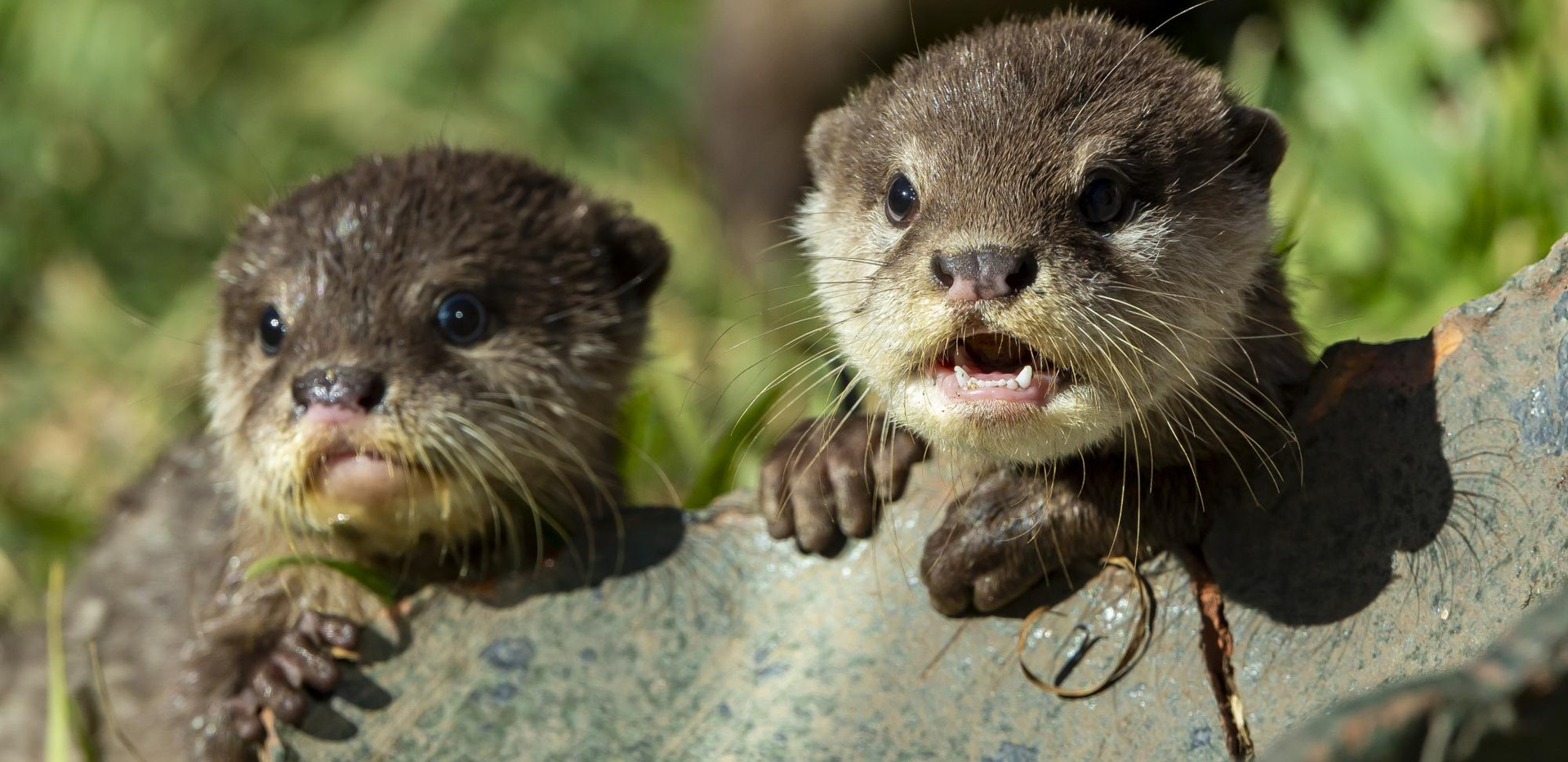 Otter pups at Taronga Western Plains Zoo (August 2019)