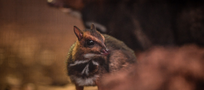 Philippine Mouse Deer at Chester Zoo (December 2016)
