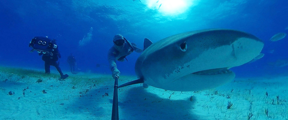 """This experience provides a rare glimpse and insight into the world of the tiger shark, who commonly reach lengths of 3.3-4.3 m, weighing between 385-635 kg. The largest adults can attain a length of over 7.4 m and weigh over 900kg. Due to demand for its fins and over-fishing, the tiger shark is listed as """"Near Threatened"""" on the IUCN Red List of Threatened Species."""