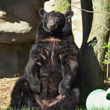 detroit zoo_black bear.jpg