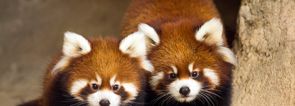Red pandas at Lincoln Park Zoo (October 2015)